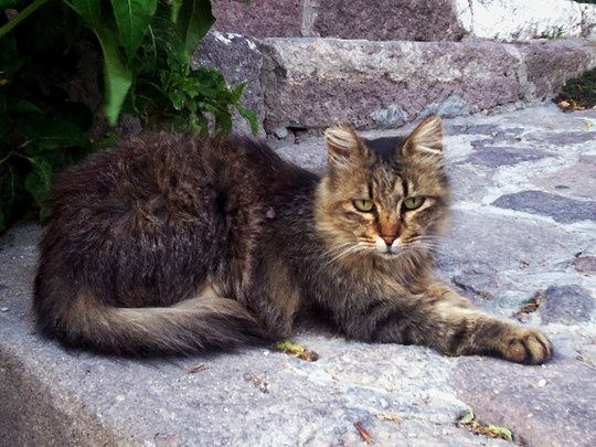 Cat from Petra, Lesbos