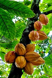 Árbol del cacao