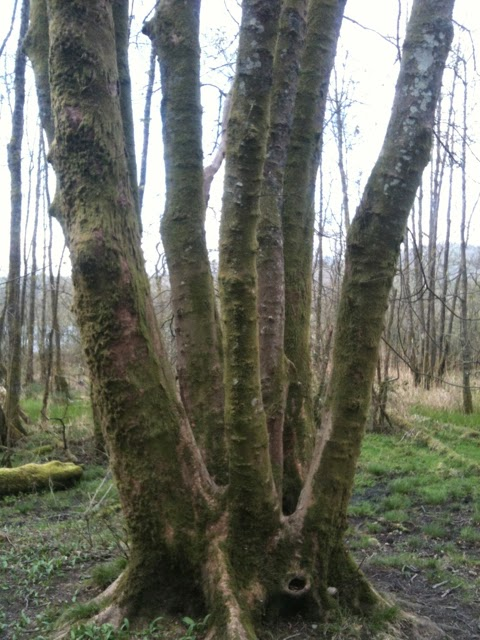 A coppiced tree