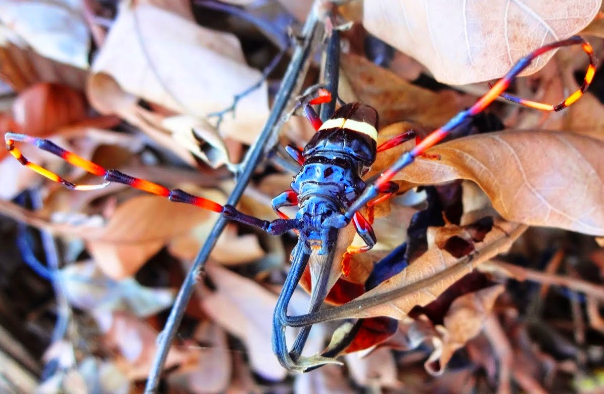 Cerambycinae Trachyderini Trachyderes