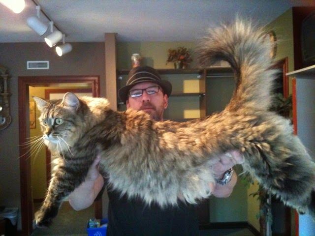 these are the biggest cats we ve ever seen feline fo fum memes - Biggest Cat In The World Guinness 2014