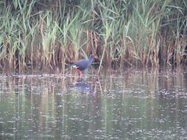 WESTERN SWAMPHEN-MINSMERE-SUFFOLK-2ND AUGUST 2016