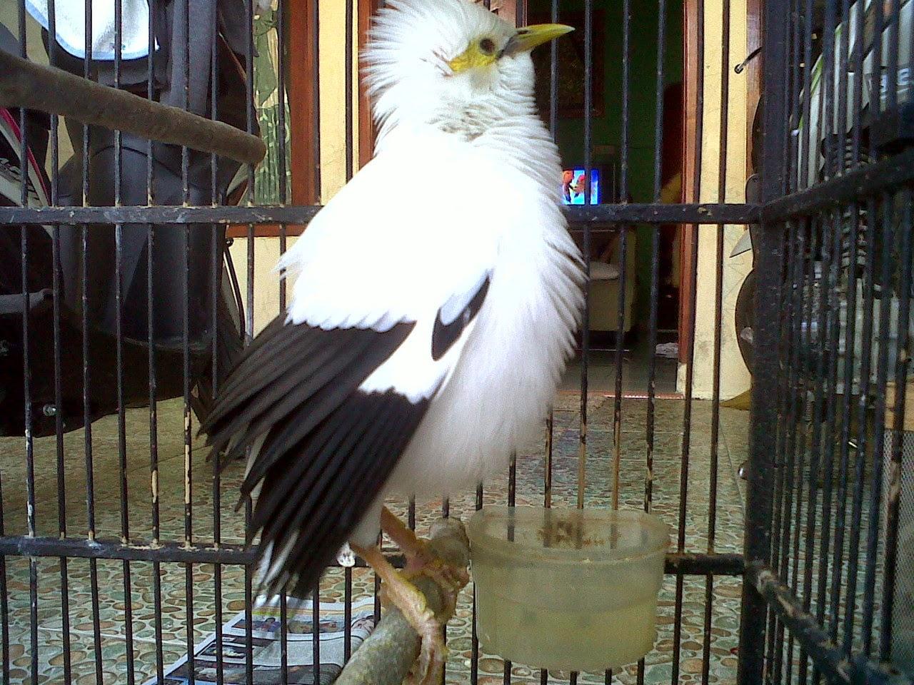 http://tipspetani.blogspot.com/2014/12/berbisnis-ternak-jalak-putih.html