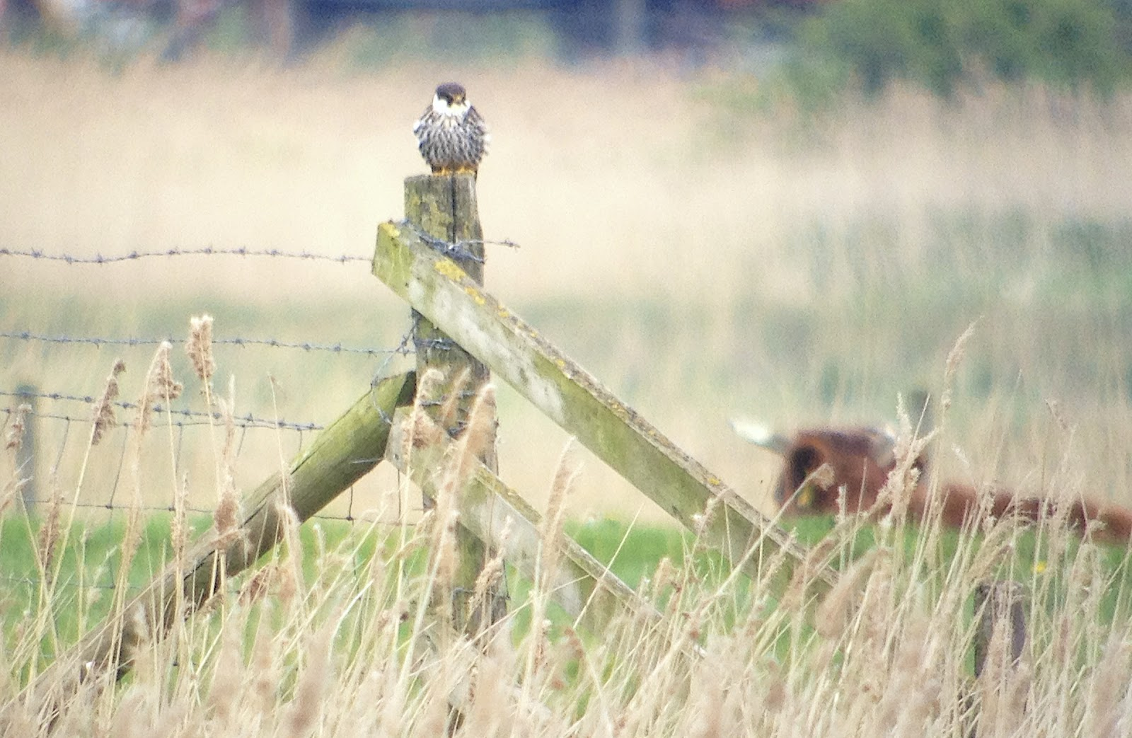 Digiscoping, Rainham, RSPB, Birds, Photography