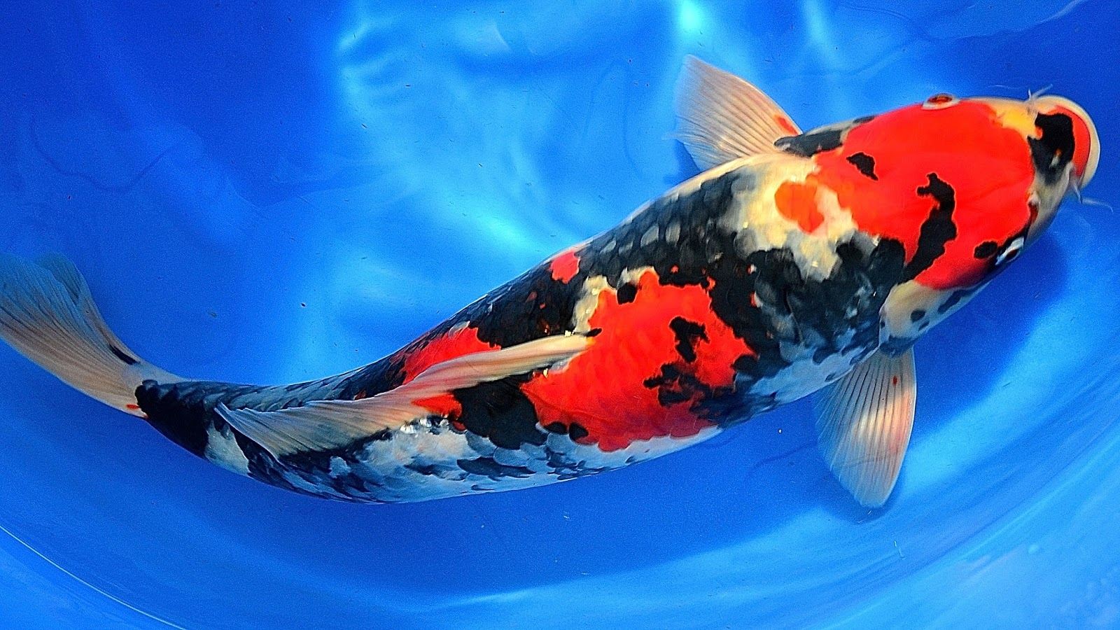 koi fish size - People.davidjoel.co
