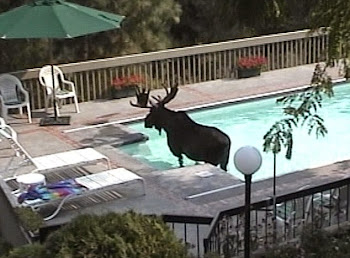 Vacationers Discover Moose in the Pool at their Holiday Villa