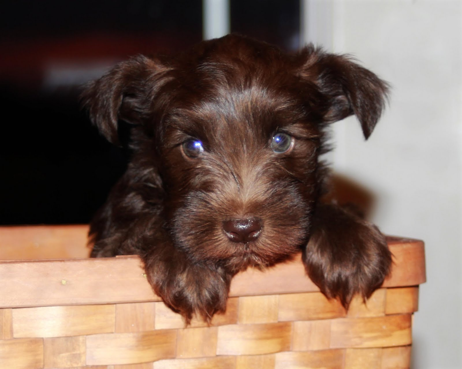 Candis Bishop Photography: AKC MINIATURE SCHNAUZER PUPPIES