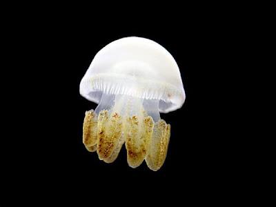 hình ảnh sứa đẹp
