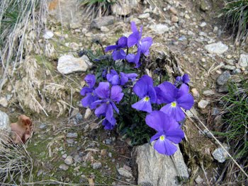 Viola bertolonii Pio emend.(Viola bertolonii)