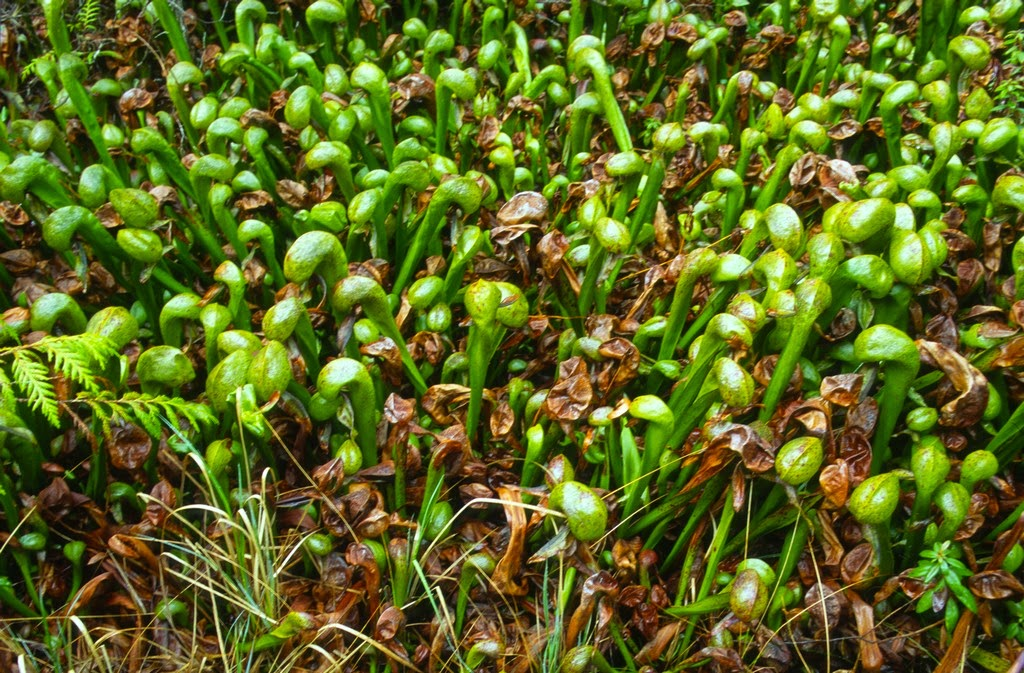 darlington californica Darlingtonia californica no terrariums no myths no nonsense get the straight facts from guys who grow and propagate thousands of carnivorous plants every year.
