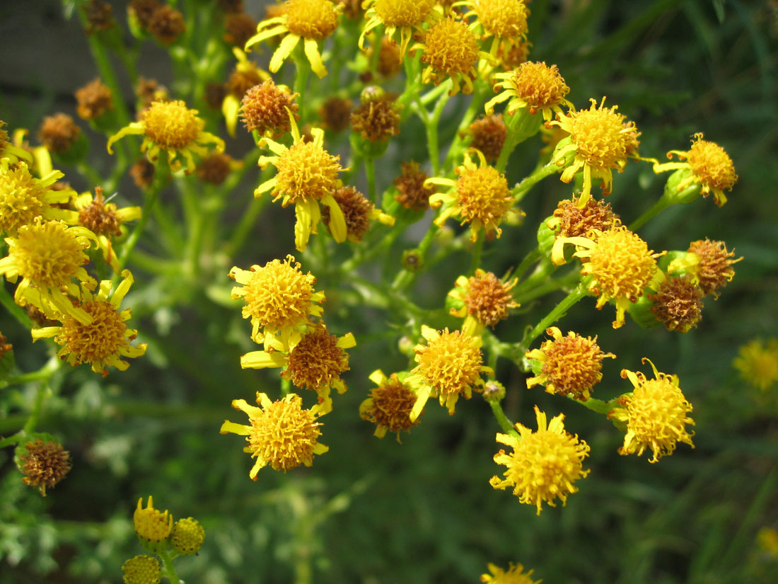 All about ragwort horse care the daisy like yellow flowers appear from may to october izmirmasajfo Gallery
