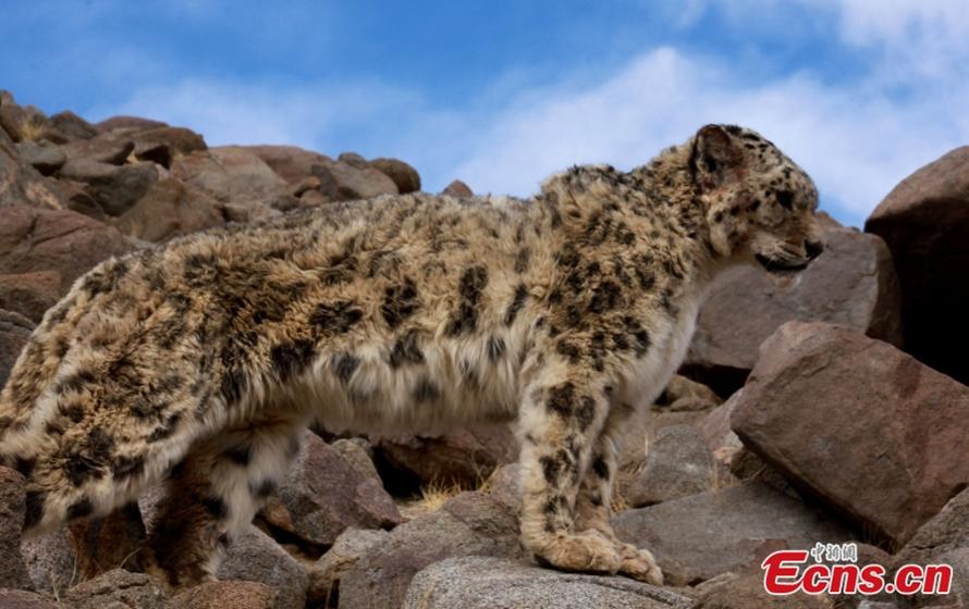 Rare Footage of Tibet Snow Leopard (Video)
