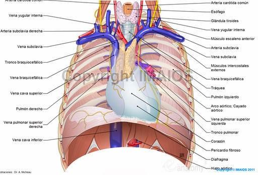 Anatomía Radiológica TORAX: MEDIASTINO E HILO