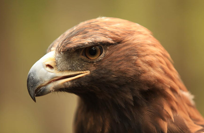 Gold eagle animal - photo#22