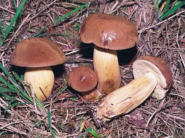setas y hongos xerocomus badius boleto badius
