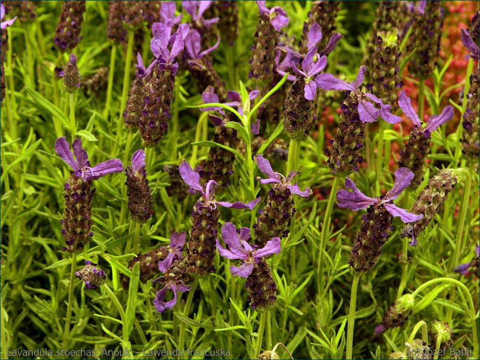 Lavandula stoechas 'Anouk' - Lawenda francuska kwiatostany