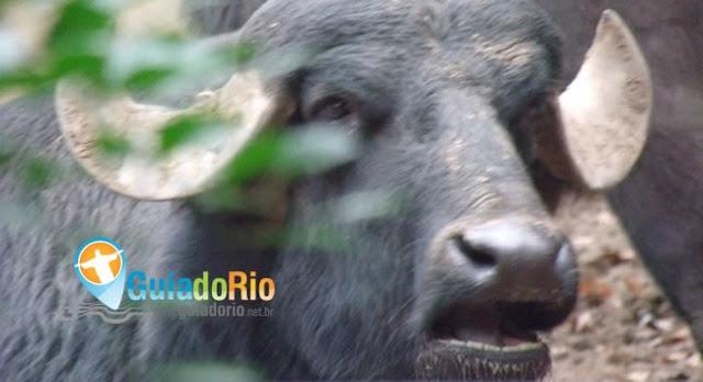 Boi Búfalo no zoológico do Rio