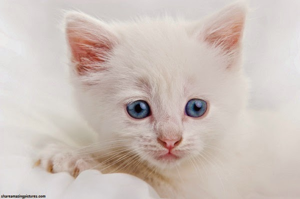 Une jolie Photo chaton blanc