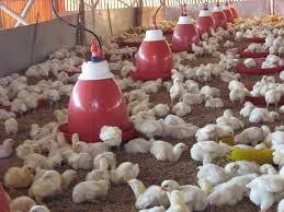 Contoh Makalah Tentang Peternakan Ayam Sayur