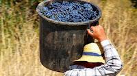 Homem a carregar as uvas às costas num balde grande