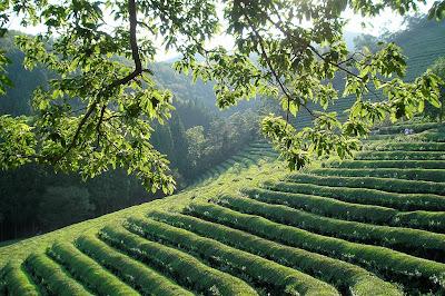 najlepsza japońska zielona herbata - jak parzyć, porady