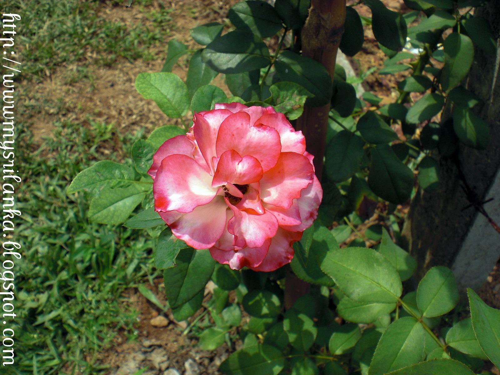 My Sri Lanka: Roses