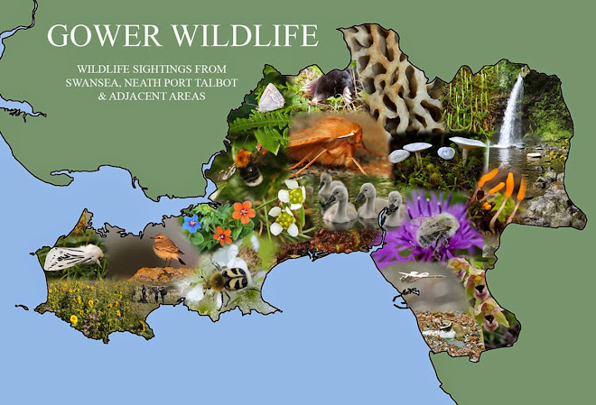 Gower Wildlife
