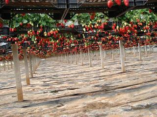 Orto per tutti piante da frutto for Piante fragola vendita