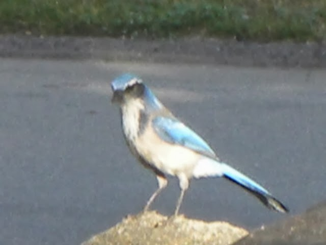 Blue-jay in the Morning
