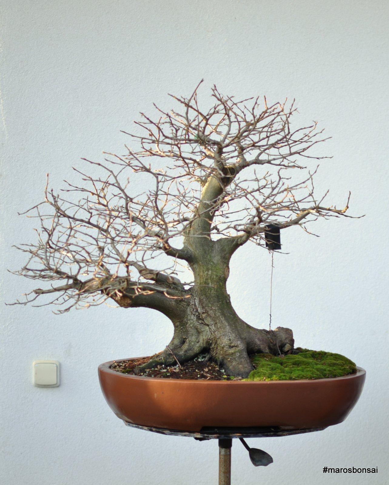 Maros Bonsai Blog Story Of My Bonsai Tree Hornbeam No11 QuotThe
