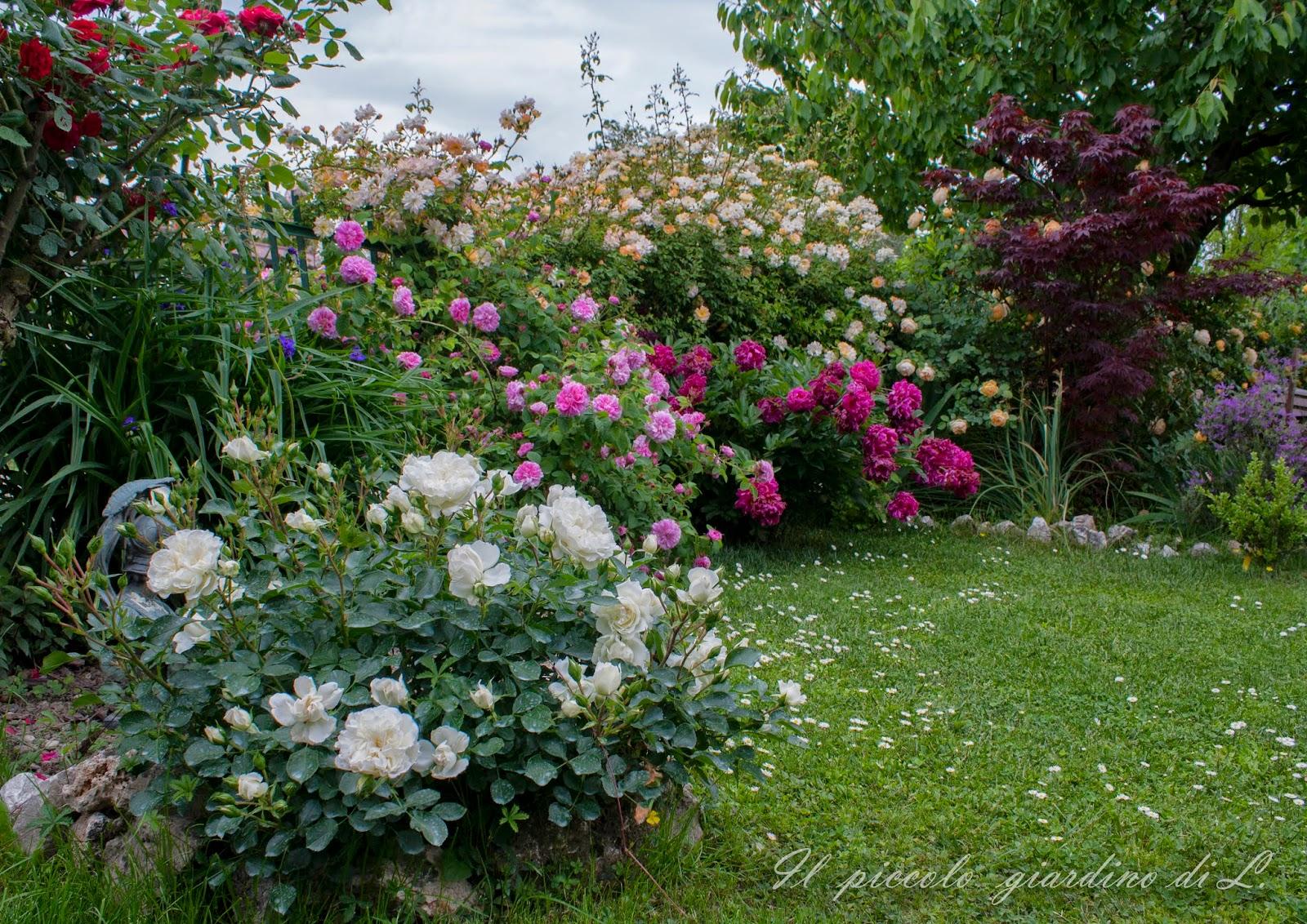 Il piccolo giardino di l la perfetta rosa tappezzante - Giardino con rose ...