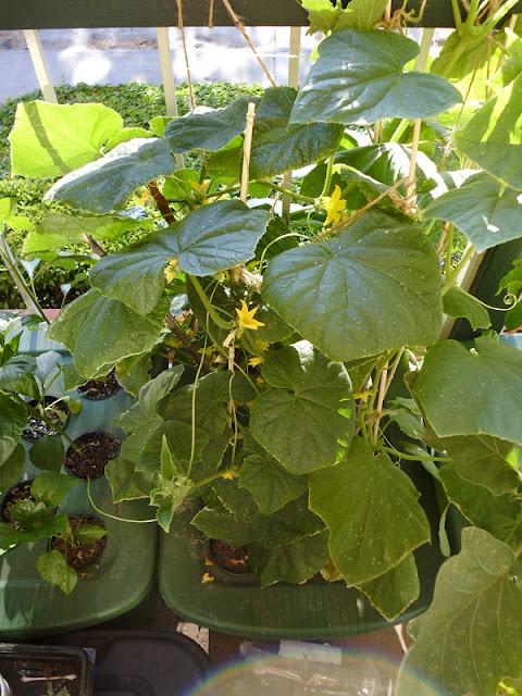 Kratky Cucumbers