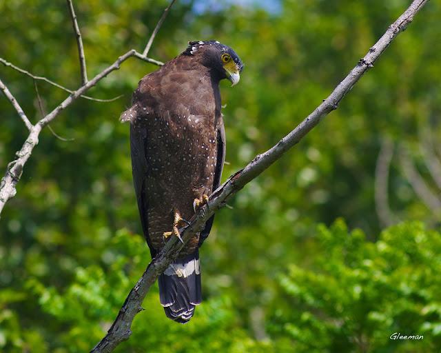 很有耐性地在樹上凝神注視池中的動靜。雞南山的大冠鷲