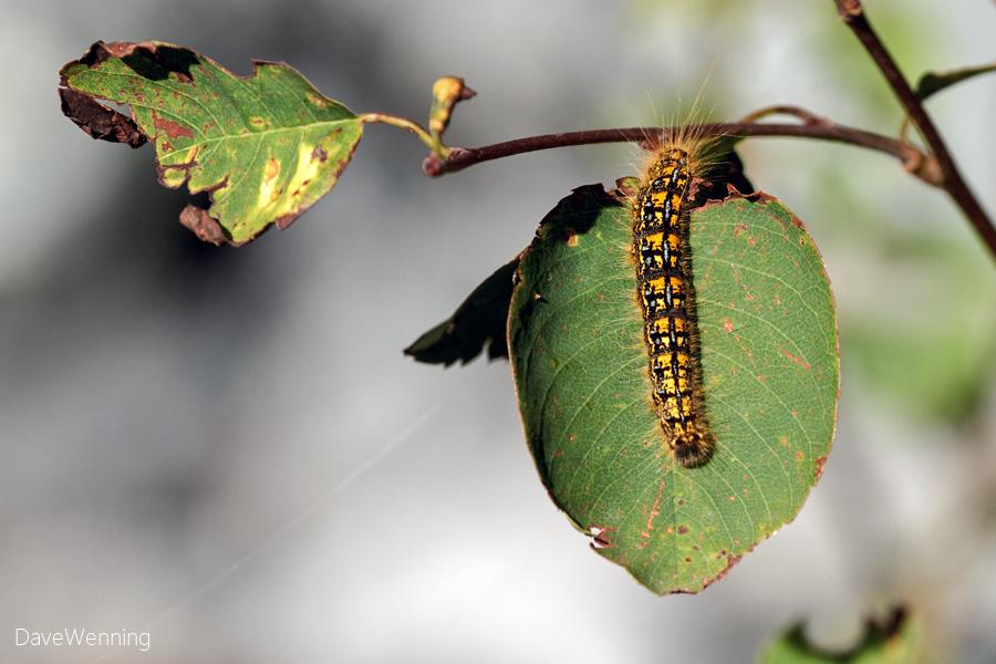 Tent Catterpillar
