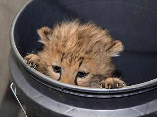 Click Pic: Cheetah Cub Cam