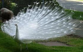 Hewan Langka Burung Merak