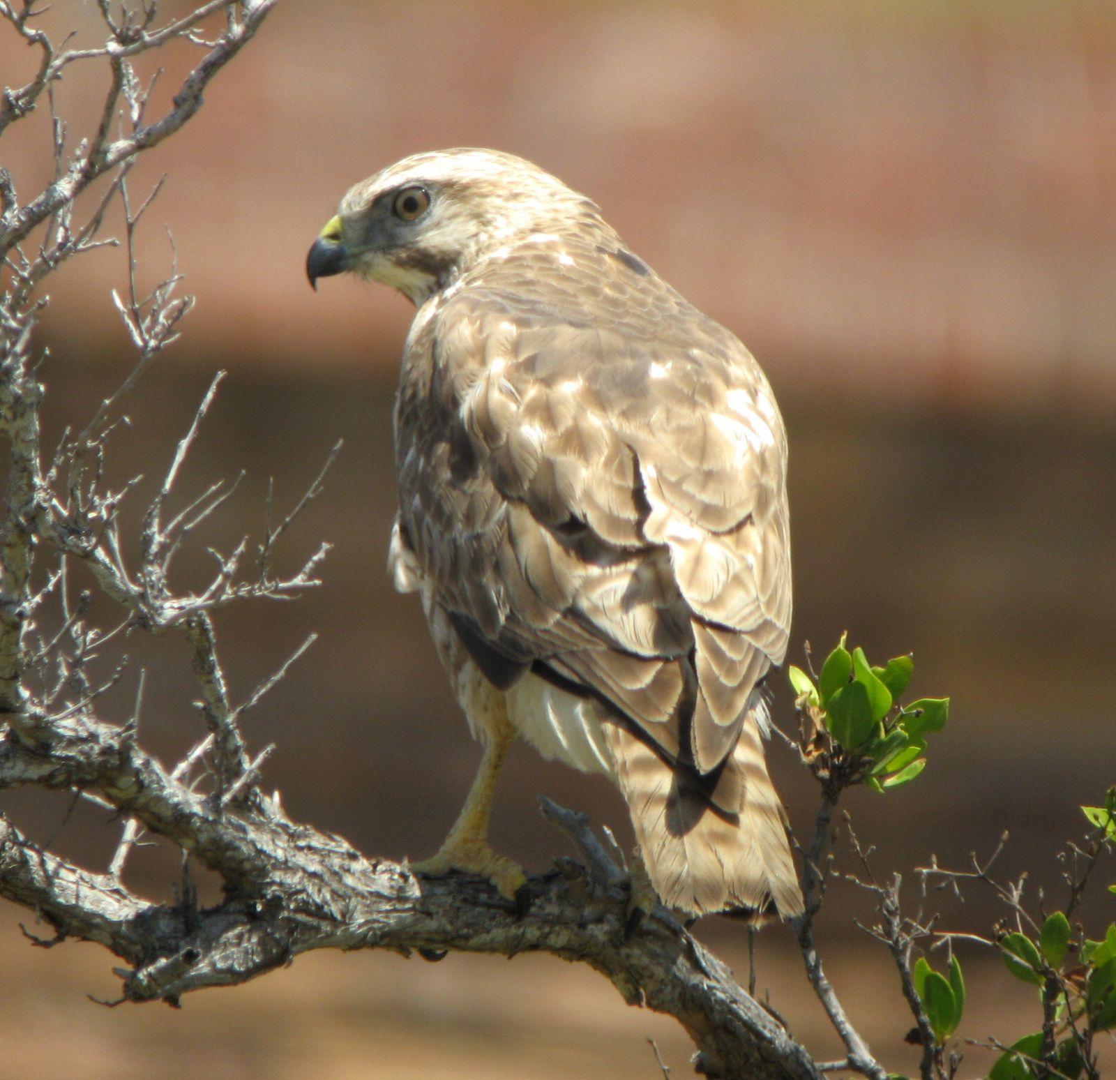 owl identification