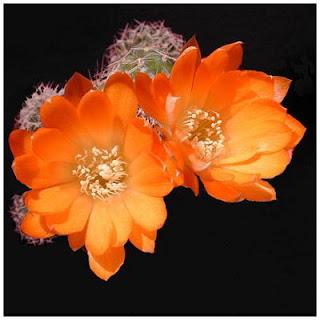 Cay hoa xuong rong