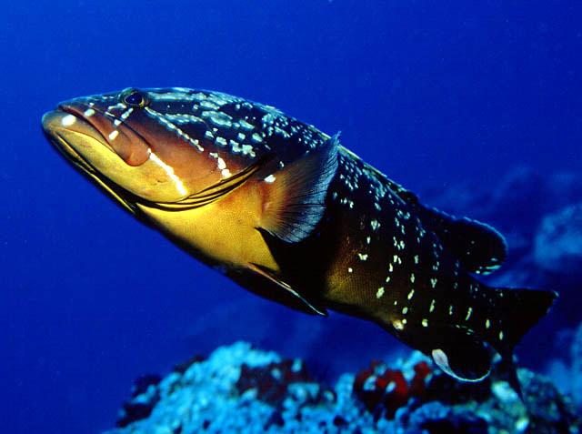 Muitas vezes A Arte da Pesca: Peixes de Água Salgada - Garoupa IY82