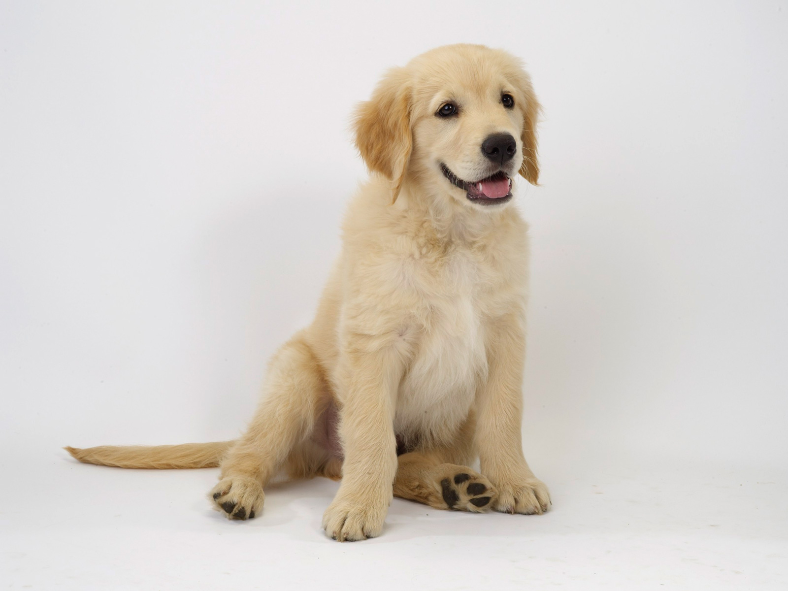 Golden retrievers are also so cute! They are adorable!