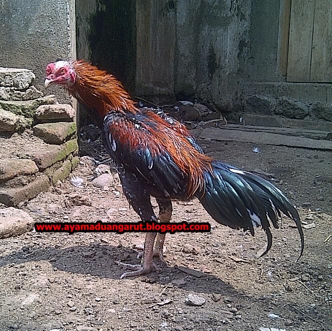 cara ternak ayam potong bagi pemula