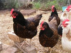 chooks - click pic for more