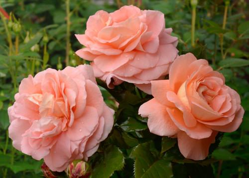 Bonita Renaissance  rose сорт розы фото