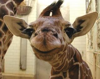 ملف كامل عن اجمل واروع الصور للحيوانات  المفترسة   حيوانات الغابة  Giraffes-0005