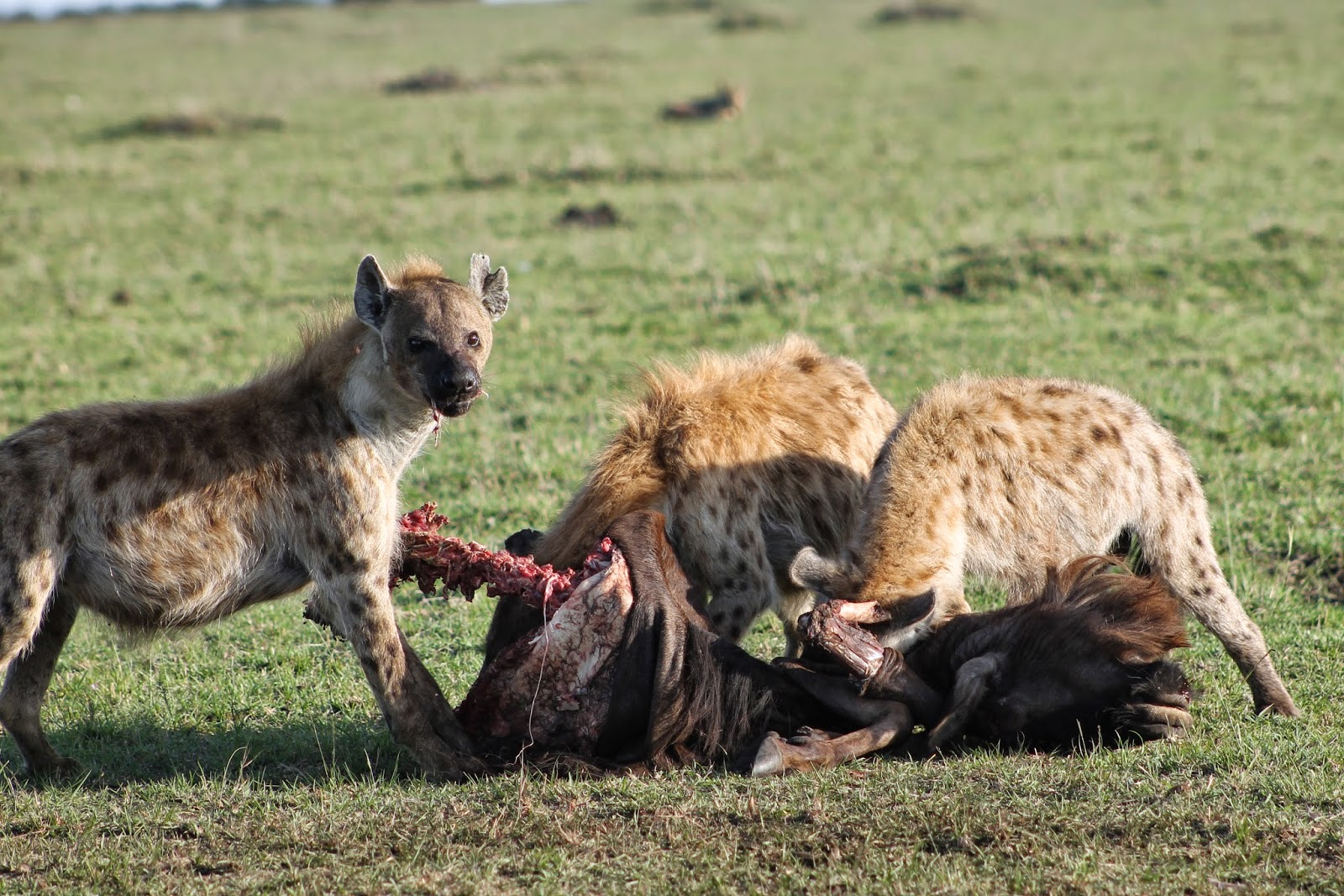 Notes From Kenya: MSU Hyena Research: Eggz-actly