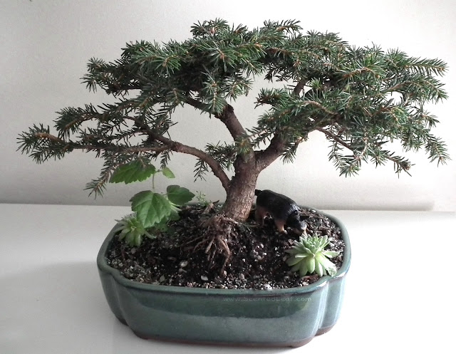 Picea abies 'Nidiformis' bonsai - Bird's Nest Spruce bonsai