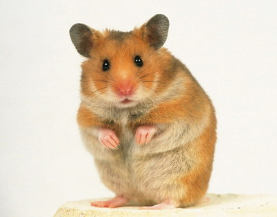 Pets Planet: What Syrian Hamster?