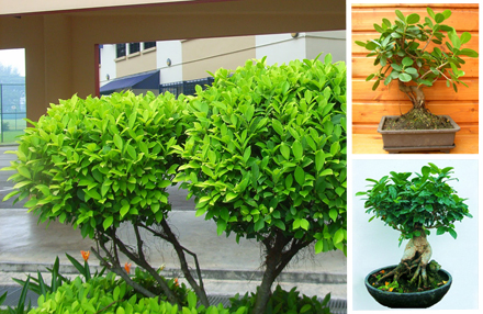 Indian Laurel Fig, Beringin Golden, Golden Chinese Banyan