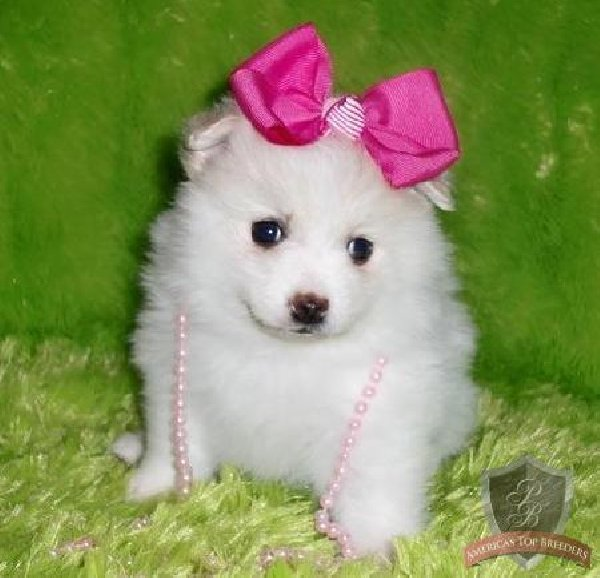 Cute White Pomeranian Puppies HD wallpaper