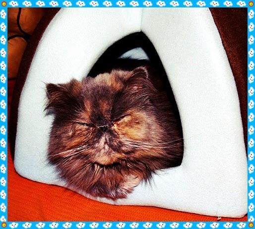 сладко персийско коте - женско